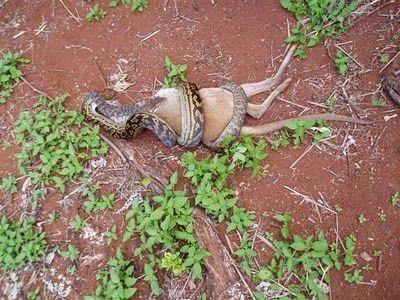 Snake Eating a Kangaroo 03