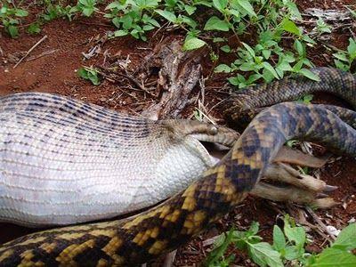 Snake Eating a Kangaroo 13