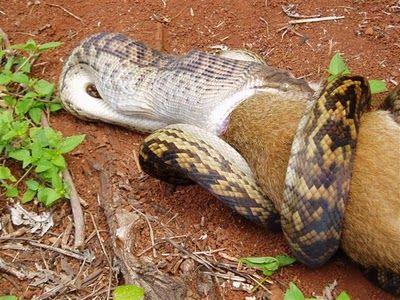 Snake Eating a Kangaroo 06