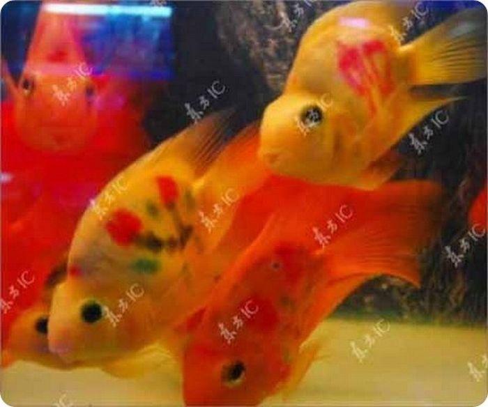 gold_fish_11