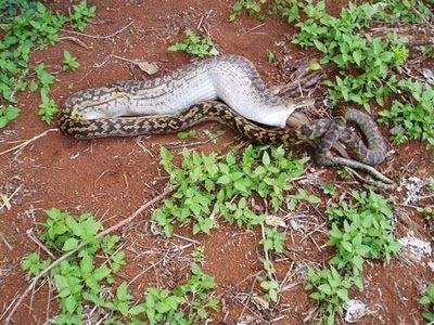 Snake Eating a Kangaroo 11