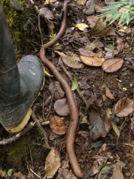 australian_giant_earthworm_640_05