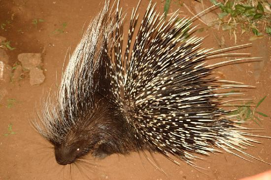 huge-porcupine