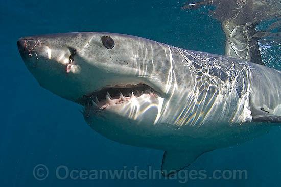 great-white-shark-38M2659-23
