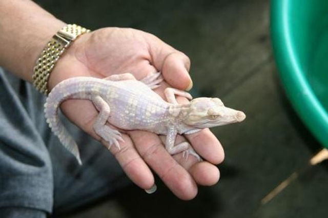 great_pictures_of_albino_animals_640_22