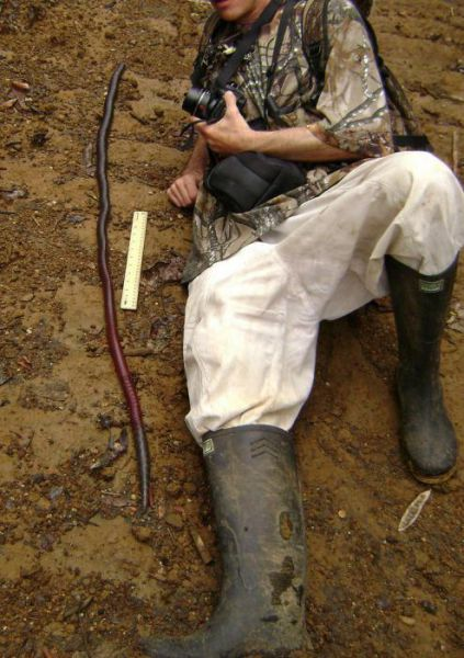 australian_giant_earthworm_640_02