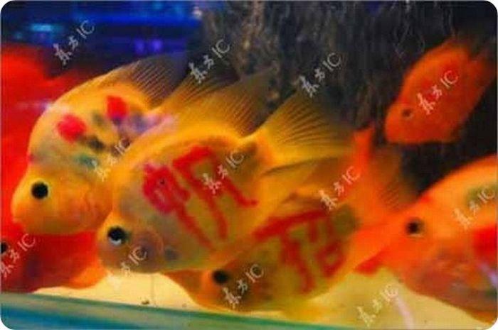 gold_fish_01