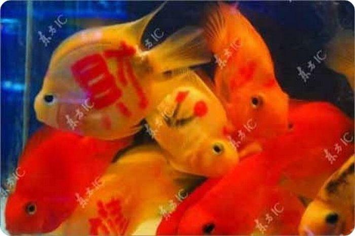 gold_fish_09